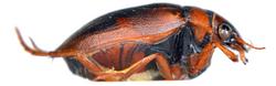 Hygrobia hermanni
