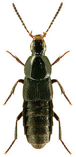 Euryporus picipes.jpg