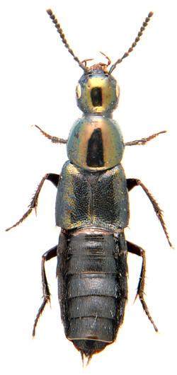 Philonthus laminatus 2