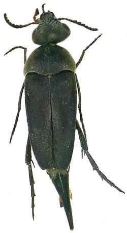 Mordella leucaspis