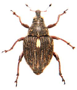 Rhinoncus pericarpius 4