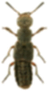 Dinothenarus pubescens.jpg