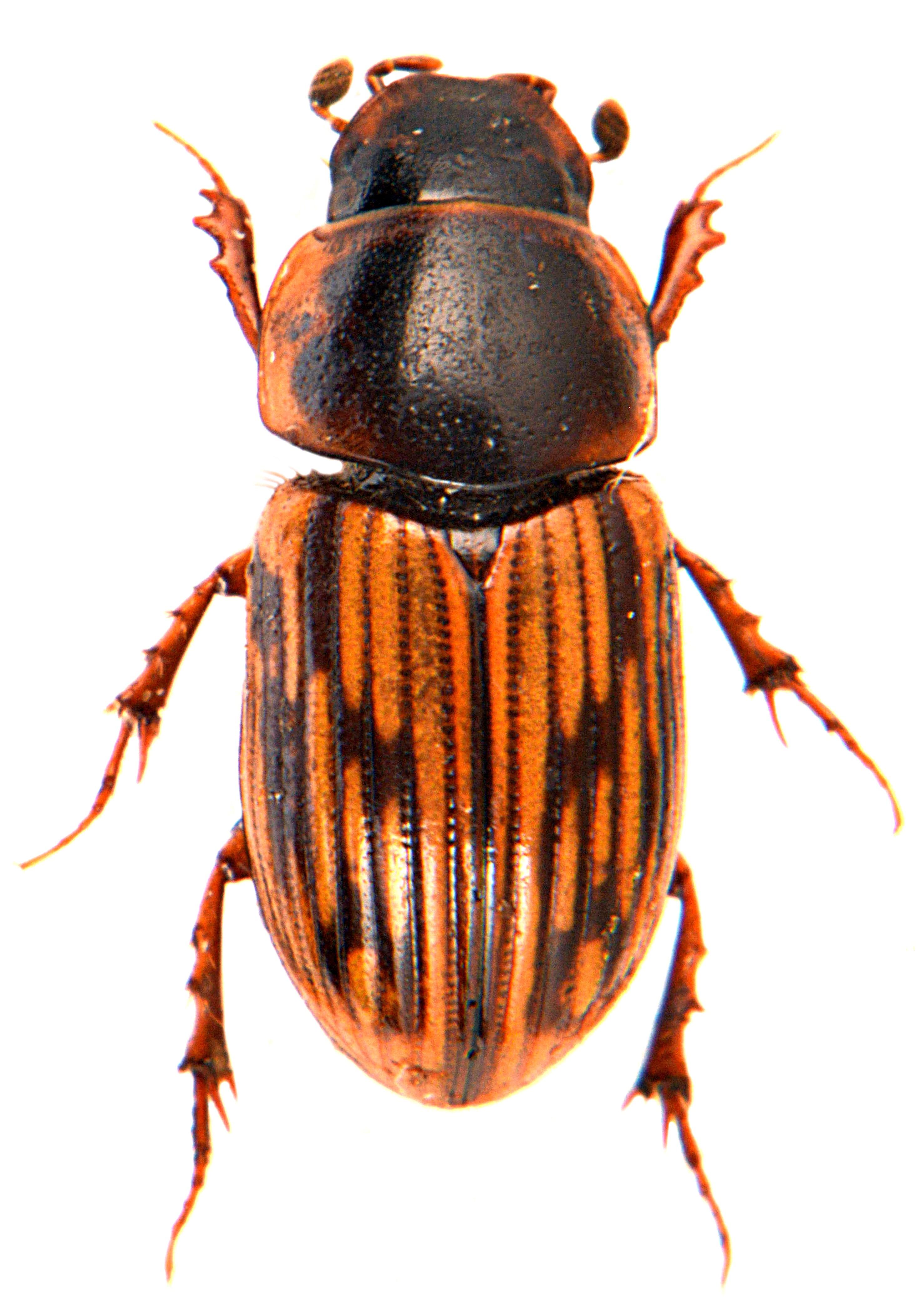 Volinus sticticus 1