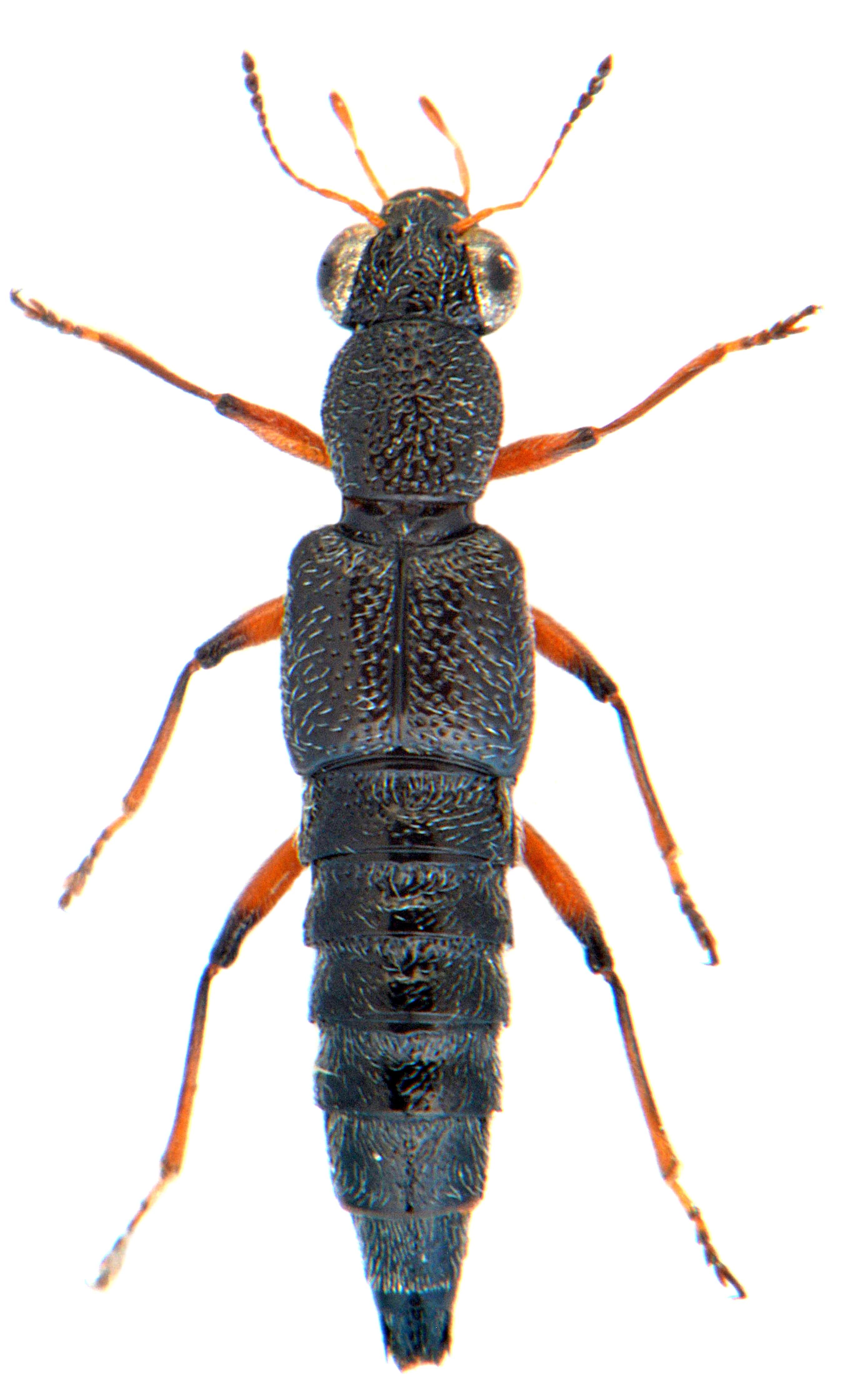 Stenus cicindeloides 2