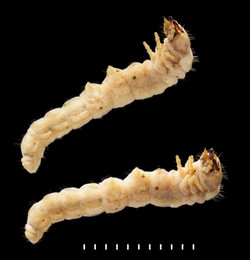 Nacerdes melanura larva