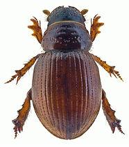 Tesarius caelatus 1.jpg