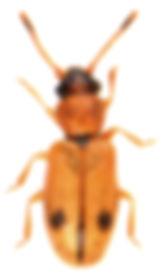 Psammoecus bipunctatus 3.jpg