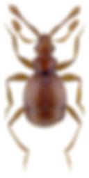 Tychobythinus glabratus.jpg