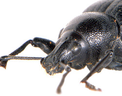 Otiorhynchus morio 2