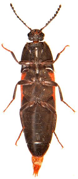 Ampedus sanuinolentus 3