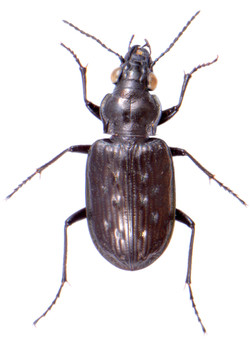 Blethisa multipunctata