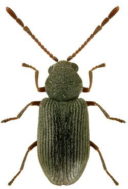 Dryophilus pusillus