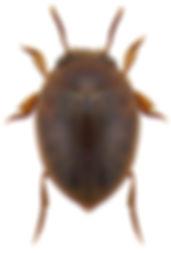 hydrovatus_clypealis_1a.jpg