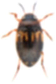 Hydroglyphus geminus.jpg