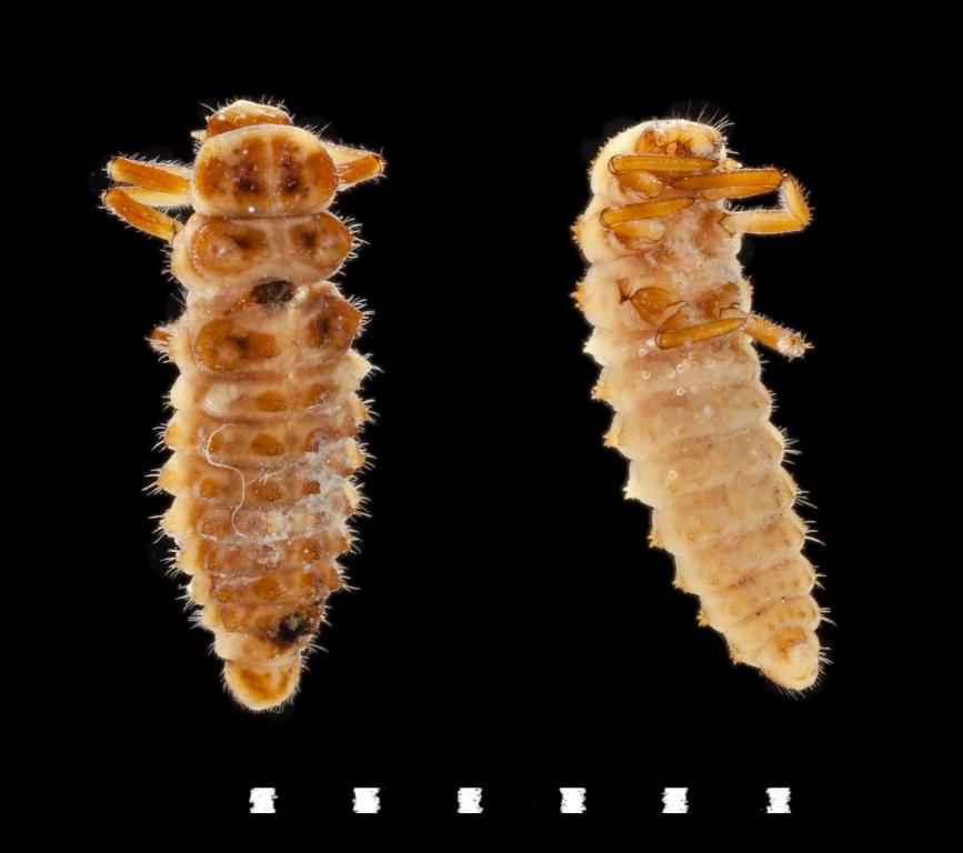 Adalia bipunctata larvae