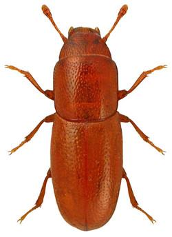 Aglenus brunneus 1