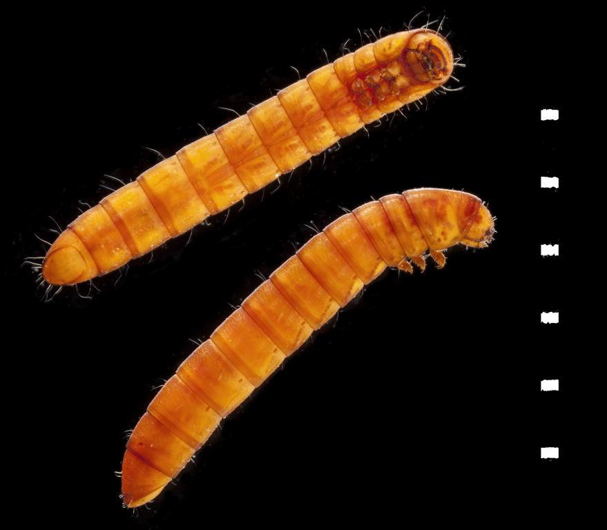 Dryops luridus larvae