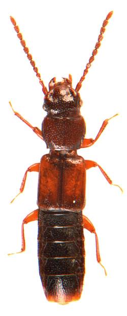 Siagonium quadricorne 3