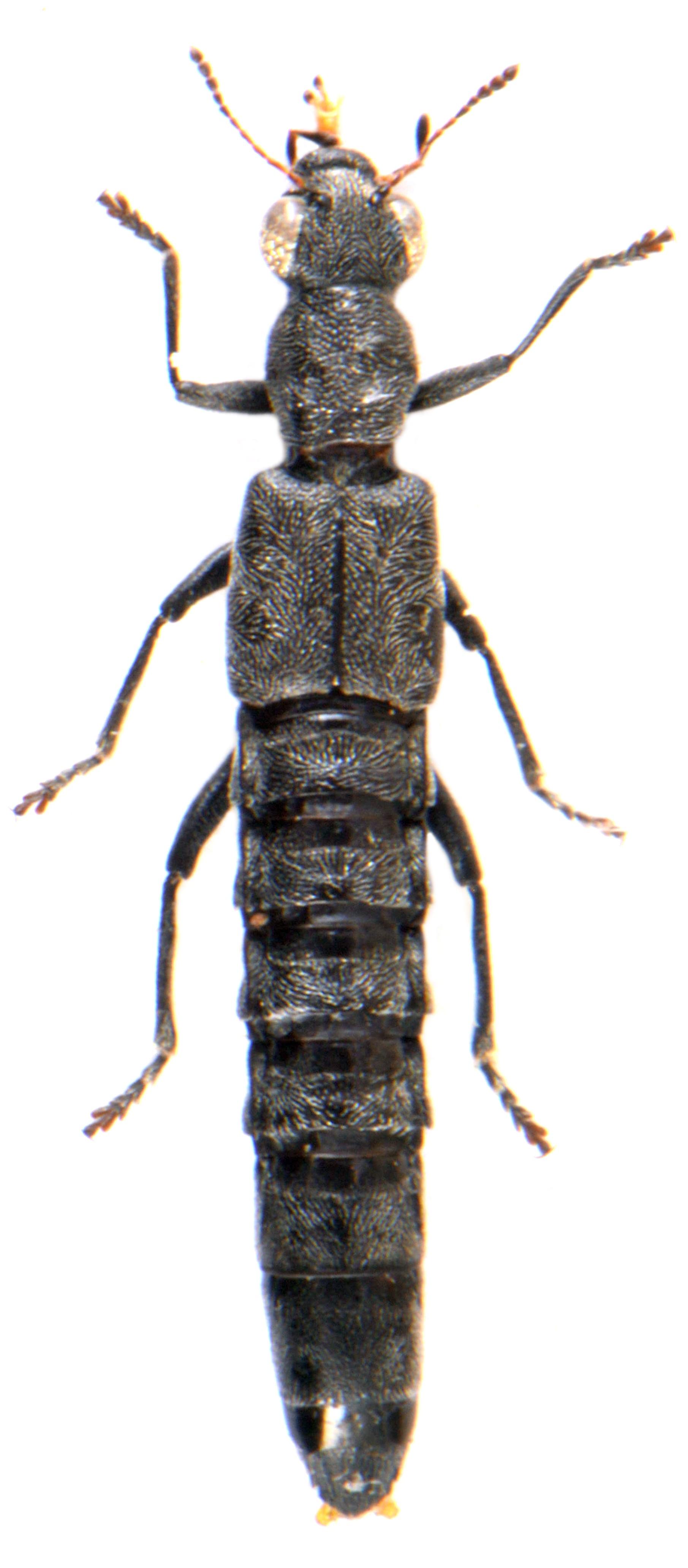Stenus (Metastenus) pubescens