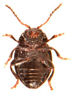 Hermaeophaga mercurialis 3