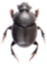 Onthophagus verticicornis 1.jpg