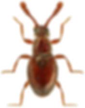 Euconnus maklinii.jpg