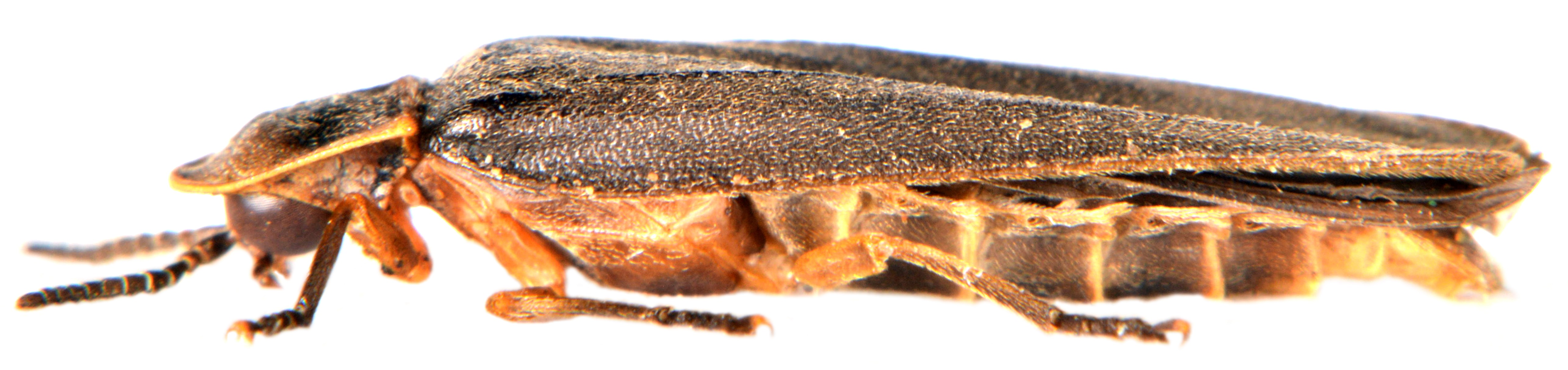 Lampyris noctiluca ♂