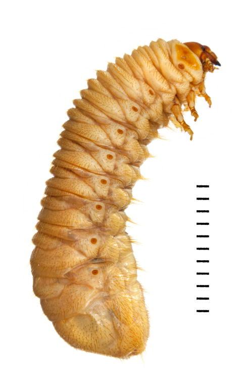 Cetonia aurata larva