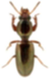 Dyschirius angustatus.jpg