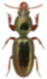 Dyschirius chalceus.jpg