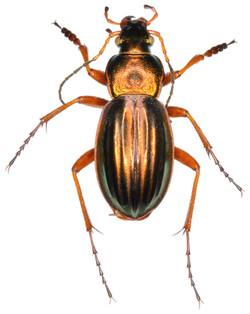 Carabus auratus ♂