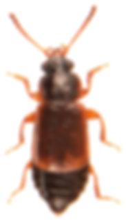 Eusphalerum primulae 1.jpg