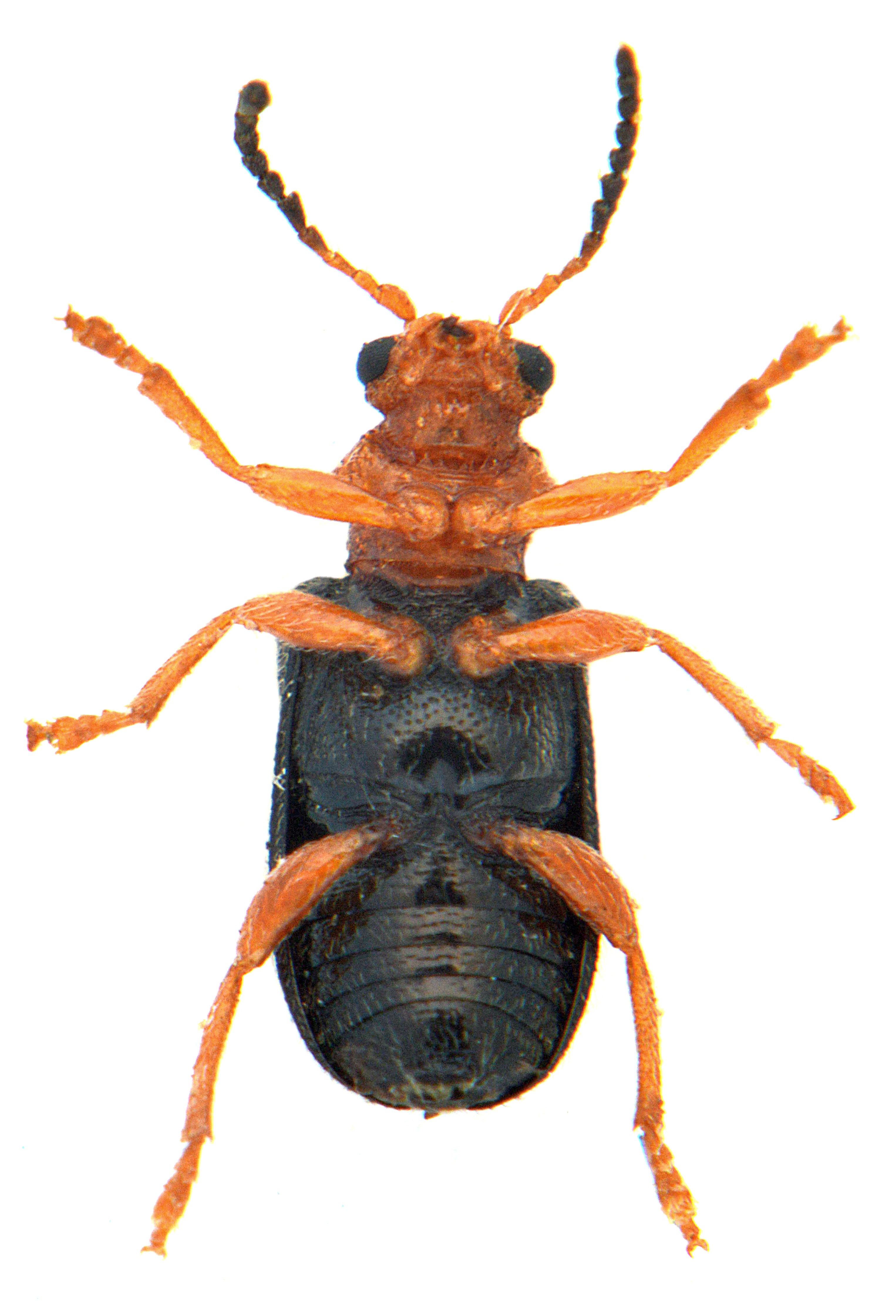 Zeugophora subspinosa 3