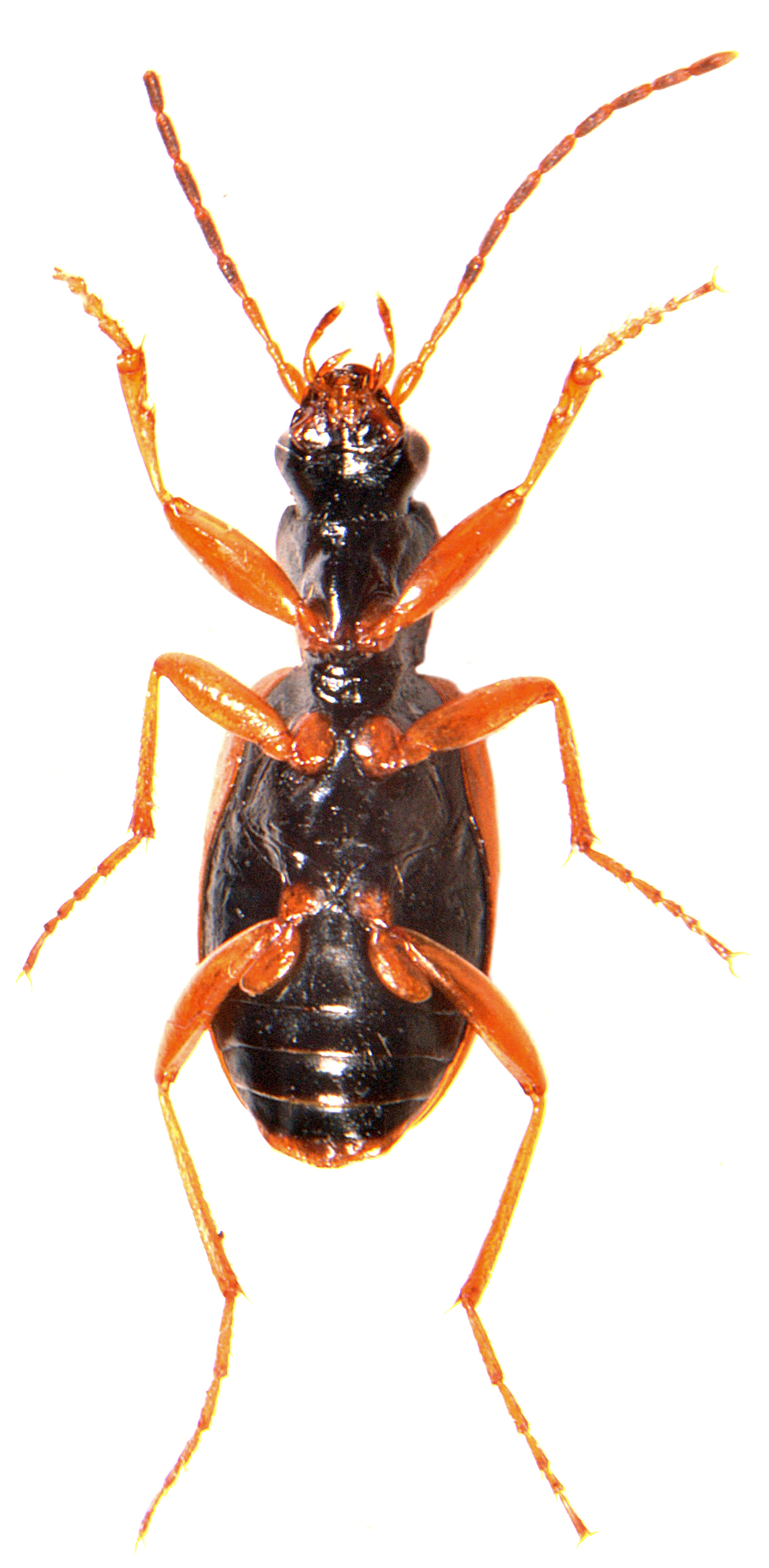 Anchomenus dorsalis 5