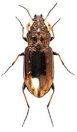 Notiophilus quadripunctatus 1.jpg
