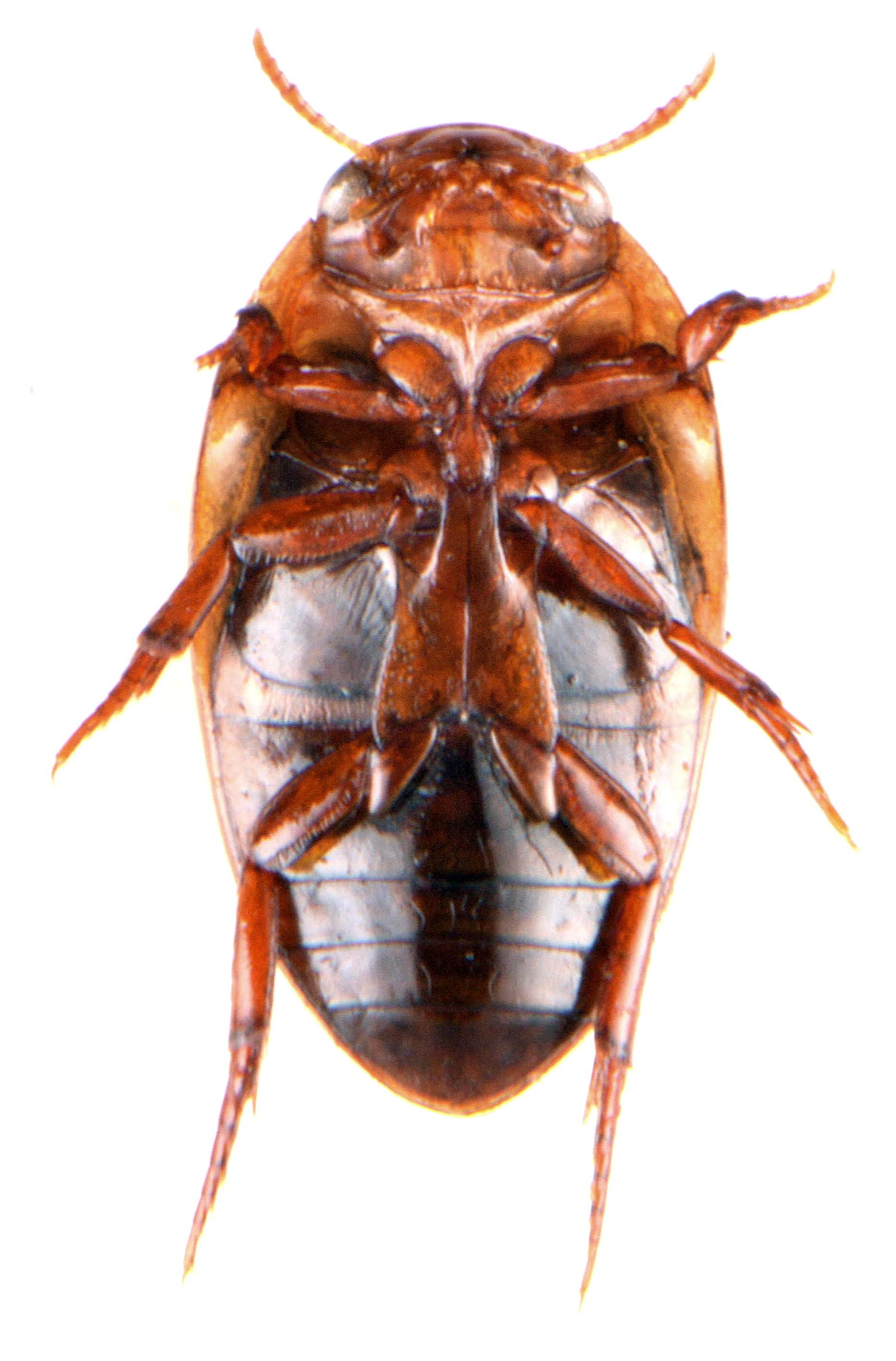 Noterus clavicornis 7