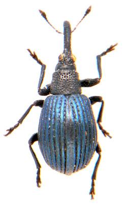 Protopirapion atratulum 2