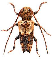 Pogonocherus hispidus 1.jpg