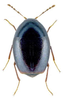 Scaphisoma agaricinum