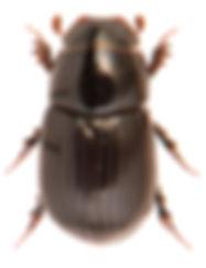 Ammoecius brevis 2.jpg
