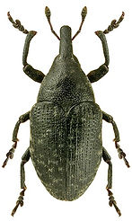 Larinus turbinatus.jpg