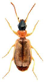 Philorhizus melanocephalus.jpg