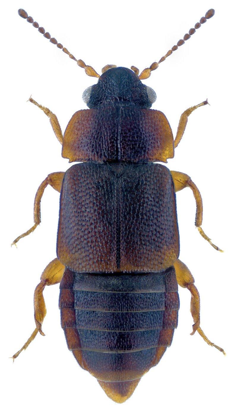 Megarthrus denticollis