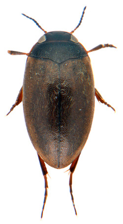 Hydroporus pubescens 2
