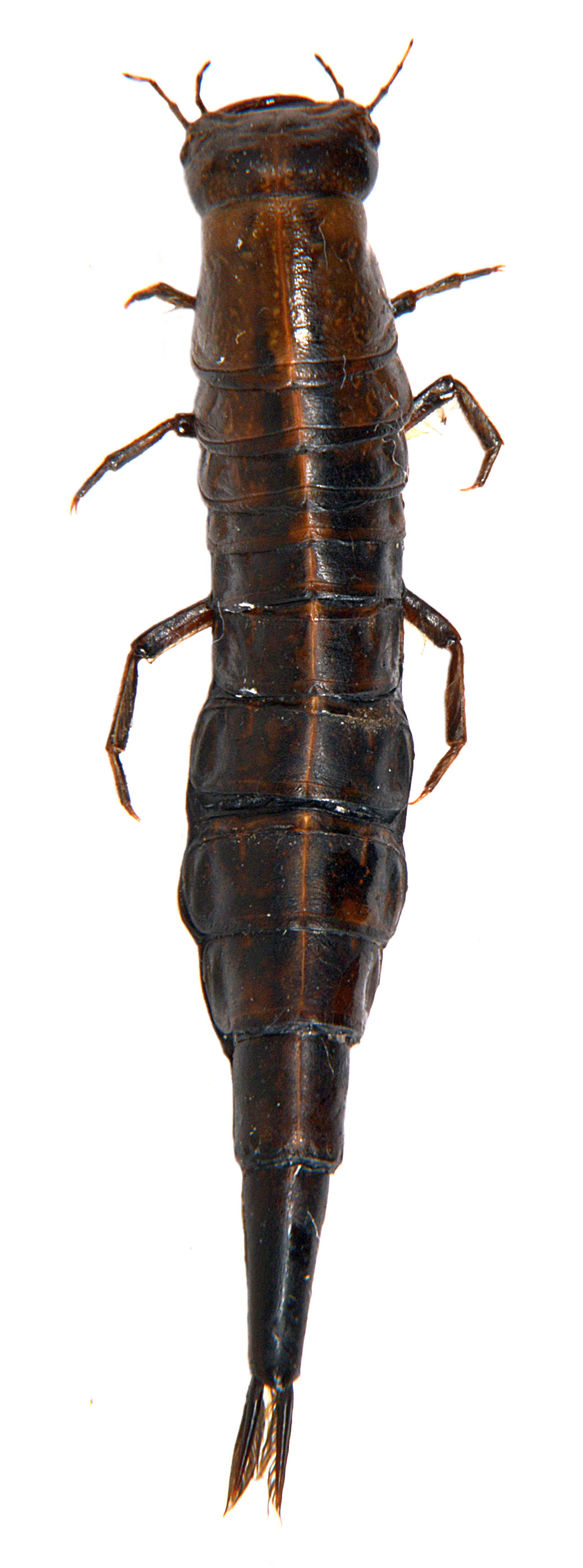 Dytiscus semisulcatus larva