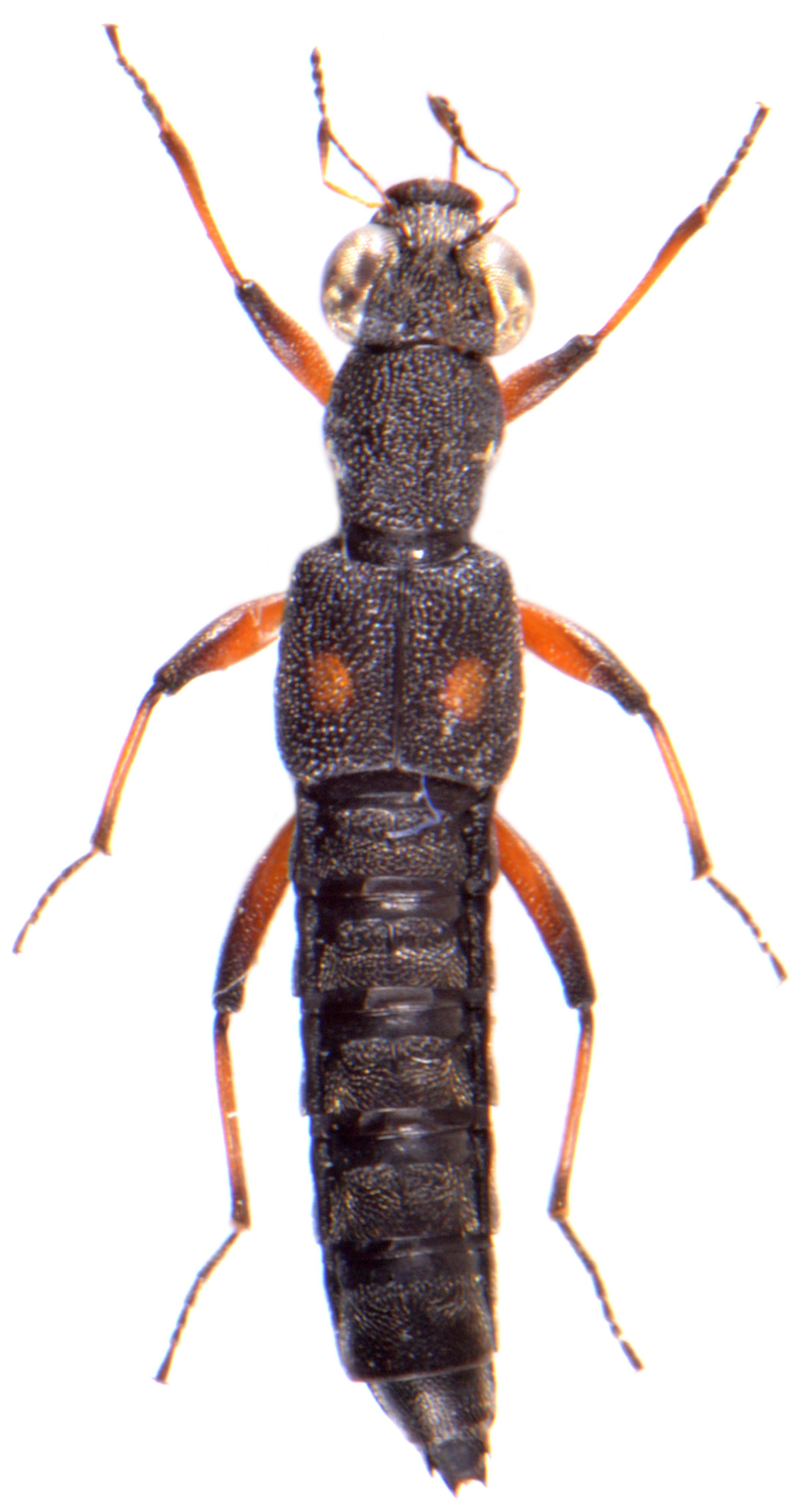 Stenus bimaculatus 2