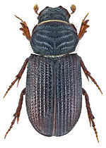 Rhyssemus germanus 1.jpg