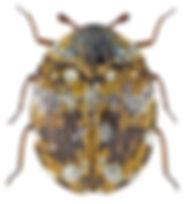 anthrenus_flavipes_1.jpg