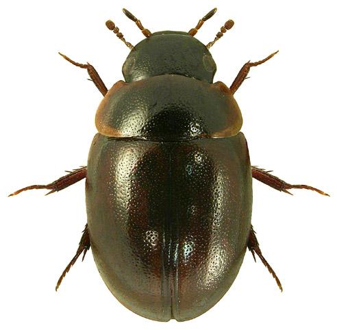 Anacaena lutescens