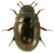Anacaena lutescens 1lb.jpg